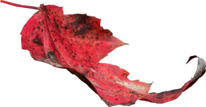 Red Leaf PNG 02