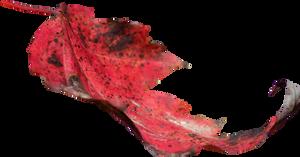 Red Leaf PNG 02 by Thy-Darkest-Hour