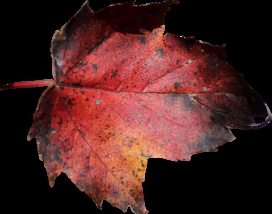 Red Leaf PNG 01