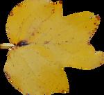 Poplar Leaf PNG 01