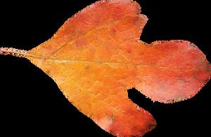 Sasafrass Leaf PNG 01 by Thy-Darkest-Hour