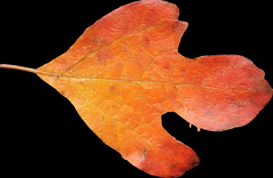 Sasafrass Leaf PNG 01