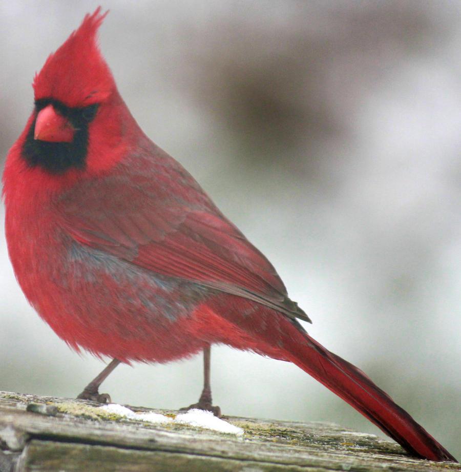 Cardinal 04 by Thy-Darkest-Hour