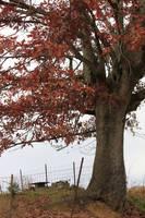 Red Oak Tree - Stock by Thy-Darkest-Hour