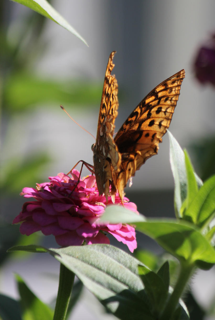 Great Spangled Fritillary 08 by Thy-Darkest-Hour