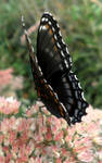 Red Spotted Purple 03