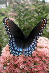 Red Spotted Purple 05