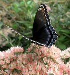 Red Spotted Purple 08