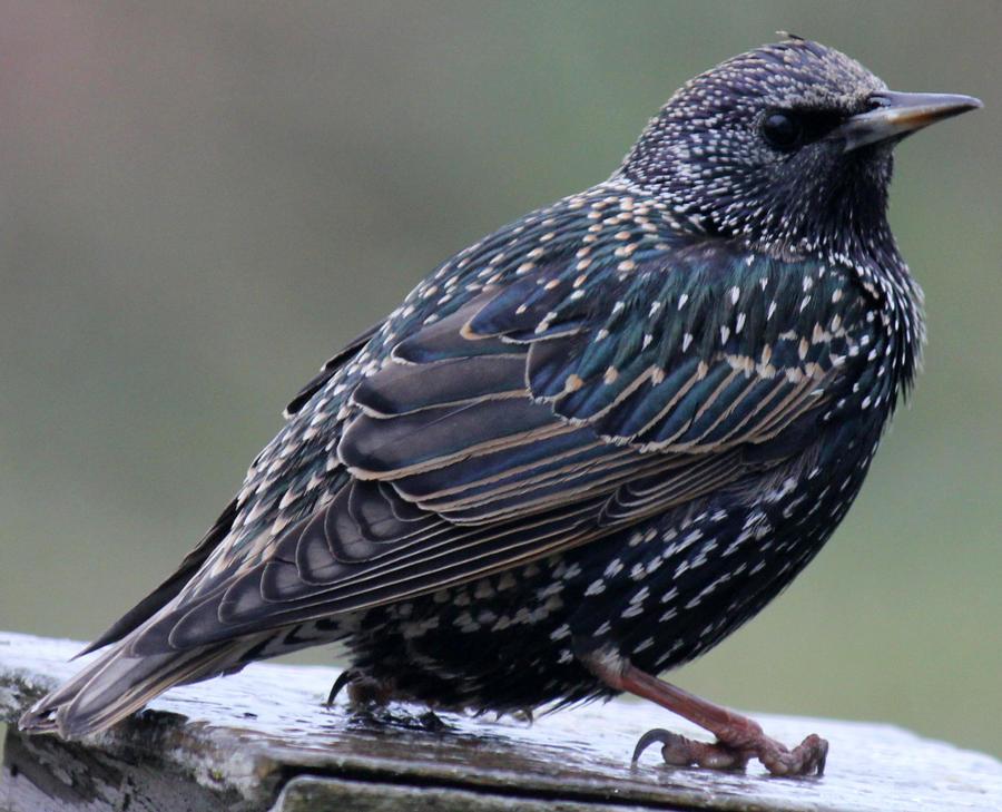 Starling 01
