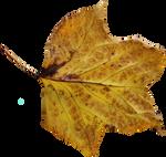Poplar Leaf PNG 02