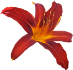 Lilly PNG 04