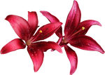 Lilly PNG 07