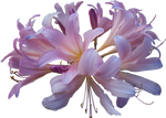 Lilly PNG 10