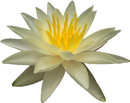 Waterlilly PNG