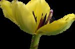 Tulip PNG 12