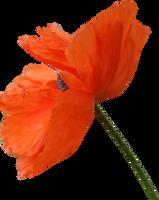 Poppy PNG 06 by Thy-Darkest-Hour