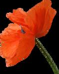 Poppy PNG 06