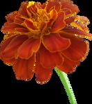 Marigold PNG 01