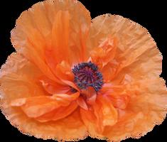 Poppy PNG 01 by Thy-Darkest-Hour