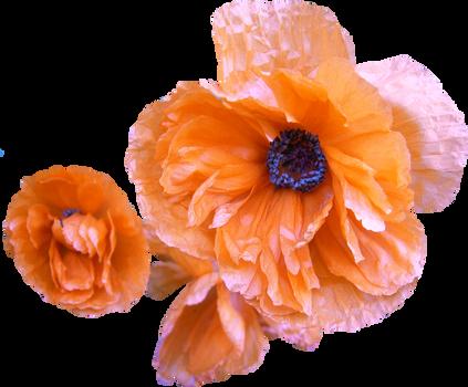 Poppy PNG 02
