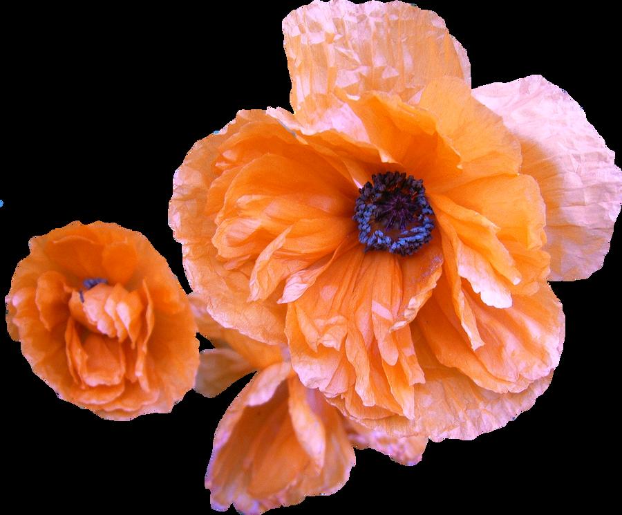 Poppy PNG 02 by Thy-Darkest-Hour