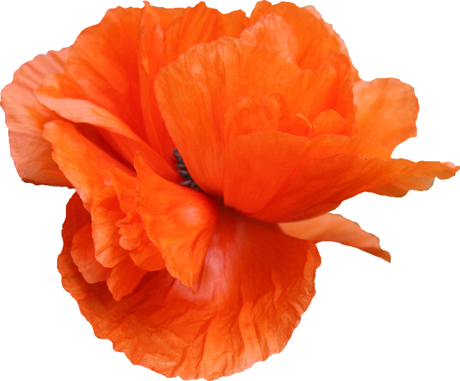Poppy PNG 03 by Thy-Darkest-Hour