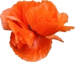 Poppy PNG 03