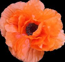 Poppy PNG 04 by Thy-Darkest-Hour