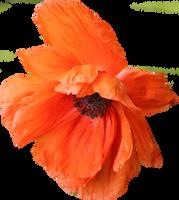 Poppy PNG 05 by Thy-Darkest-Hour