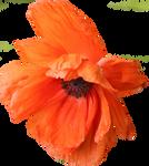 Poppy PNG 05