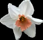 Daffodil PNG 04