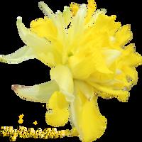 Daffodil PNG 05 by Thy-Darkest-Hour