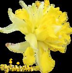 Daffodil PNG 05