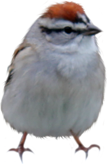 Finch PNG