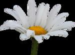 Shasta Daisy PNG