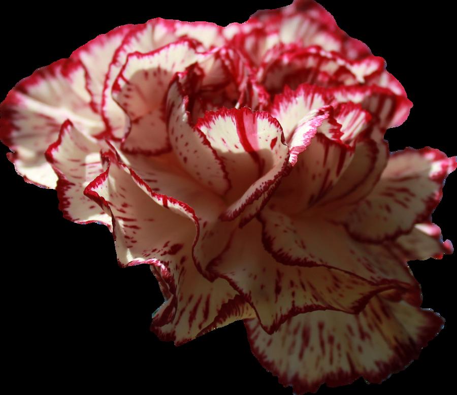 Carnation Png 01 By Thy Darkest Hour On Deviantart