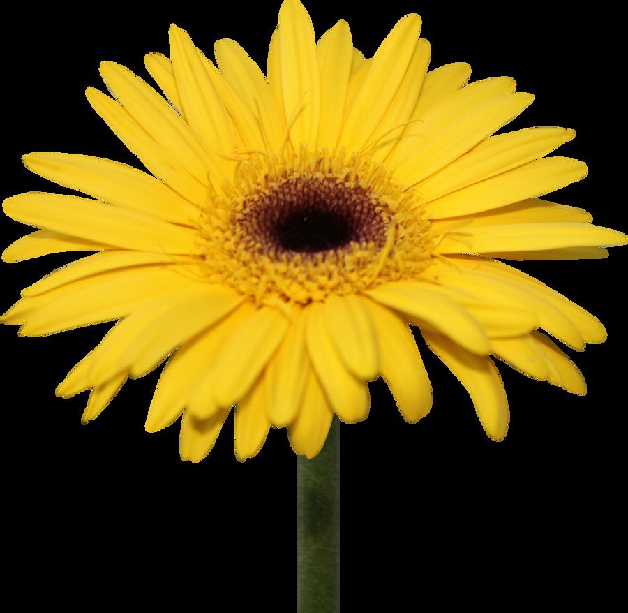 Yellow Gerber Daisy PNG by Thy-Darkest-Hour on DeviantArt