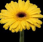 Yellow Gerber Daisy PNG