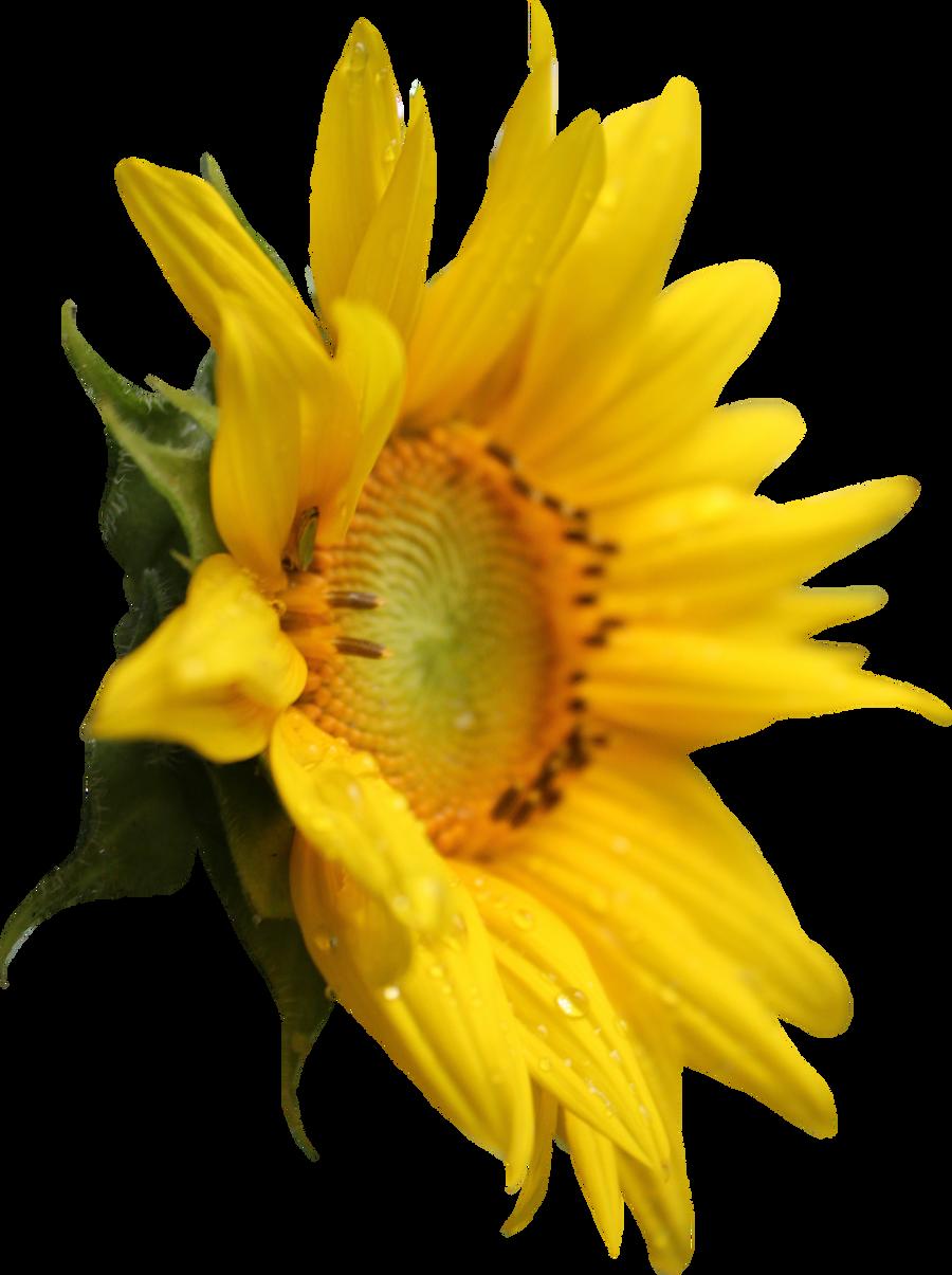 Sunflower PNG by Thy-Darkest-Hour