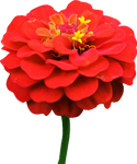 Red Zinnia PNG