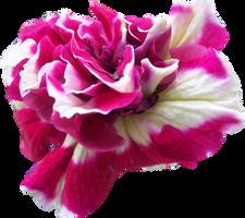 Flower PNG by Thy-Darkest-Hour