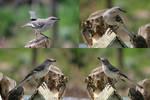 Mockingbird Pack 02