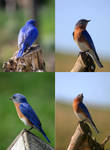 Eastern Bluebird Pack 01
