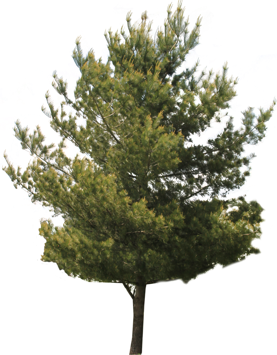 Tree PNG 02
