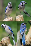 Blue Jay Pack 01