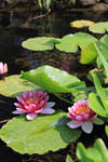 Pink Water Lilly Pond 02