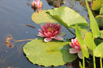 Pink Water Lilly Pond 01