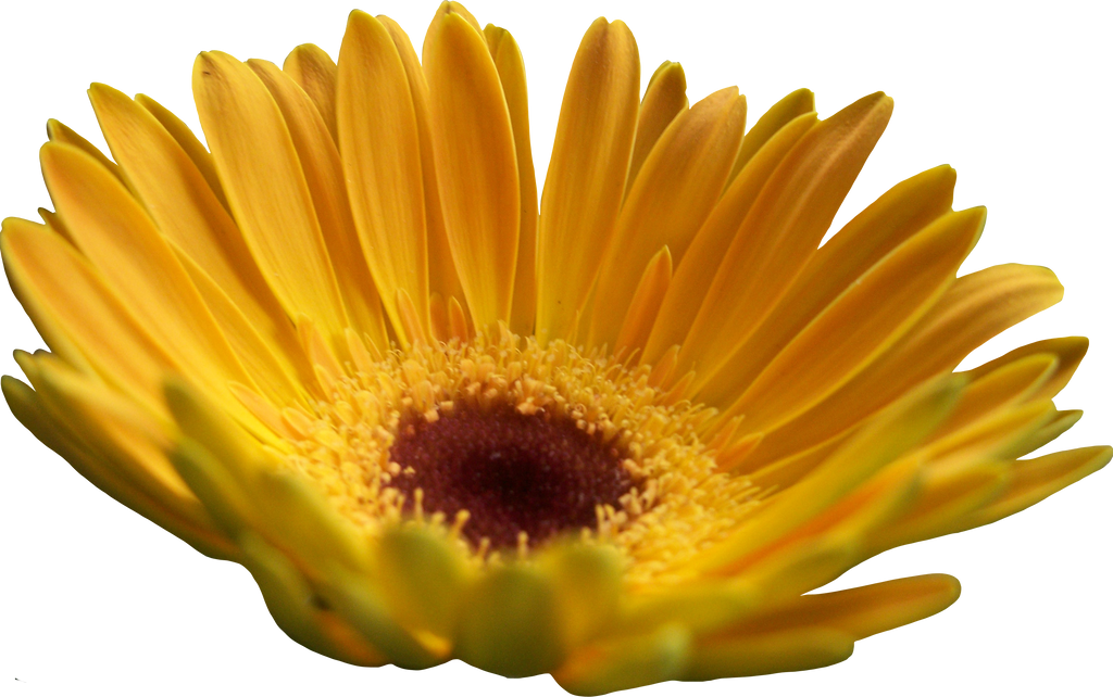 Yellow Daisy Png Yellow Gerber Daisy by...