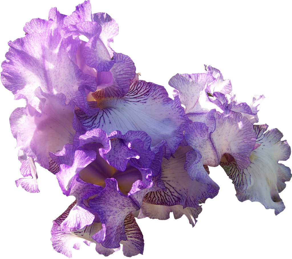 Light Purple Iris Cluster by Thy-Darkest-Hour