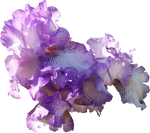 Light Purple Iris Cluster